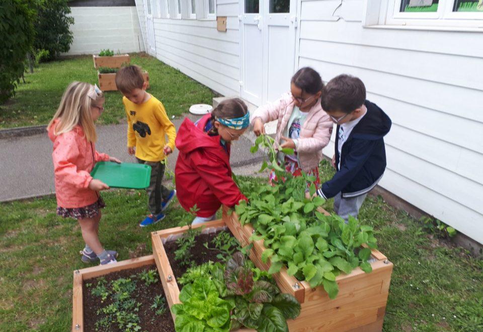 Récolte du potager avec les élèves de Mme Boyer